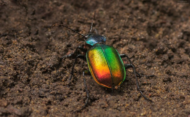 макро, природа, насекомые, жук, красотел, macro, nature, insects, beetle, Красотел пахучийphoto preview