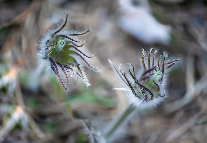 прострелы, сон-трава, цвететение, цветы, весна, лес, мещёра, рязанская область Pro недолговечность красоты ...photo preview