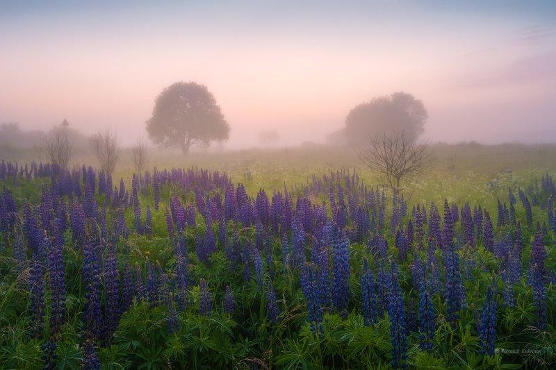 угра,рассвет,утро,пейзаж Люпиновое утро... фото превью