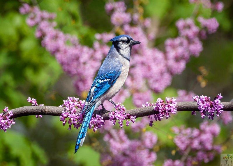 Blue Jay in Sakura Bloomphoto preview