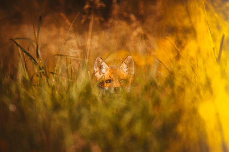 #animal #fox #puppy #wildlife #colors  I see youphoto preview