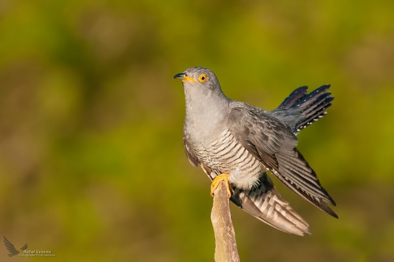 birds, nature, animals, wildlife, colors, spring, freedom, wings, nikon, nikkor, lens, lubuskie, poland Kukułka, Common Cuckoo (Cuculus canorus) ...photo preview