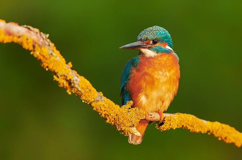 bird, birds, animal, animals, wildlife, kingfisher, Kingfisherphoto preview