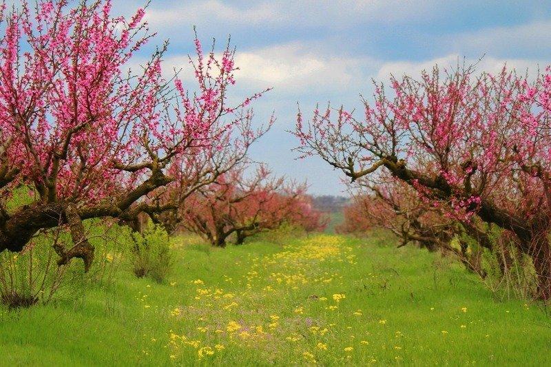 сады,персики,весна,розовый,пейзаж, В розовых облаках....photo preview