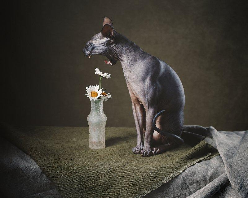 животные, натюрморт, драпировка,  Сонный Сфинкс и ромашки photo preview