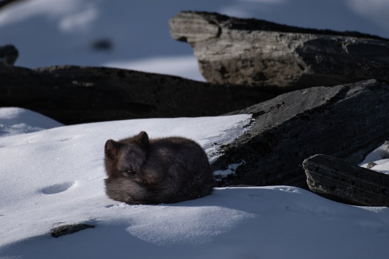 animals, arctic fox, Norway,  Black Arctic Foxphoto preview