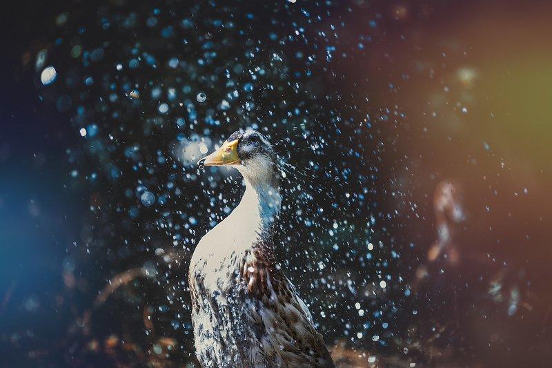 утка, вода, душ, duck, duck stories, water, pomoleyko, помолейко Весенний душphoto preview