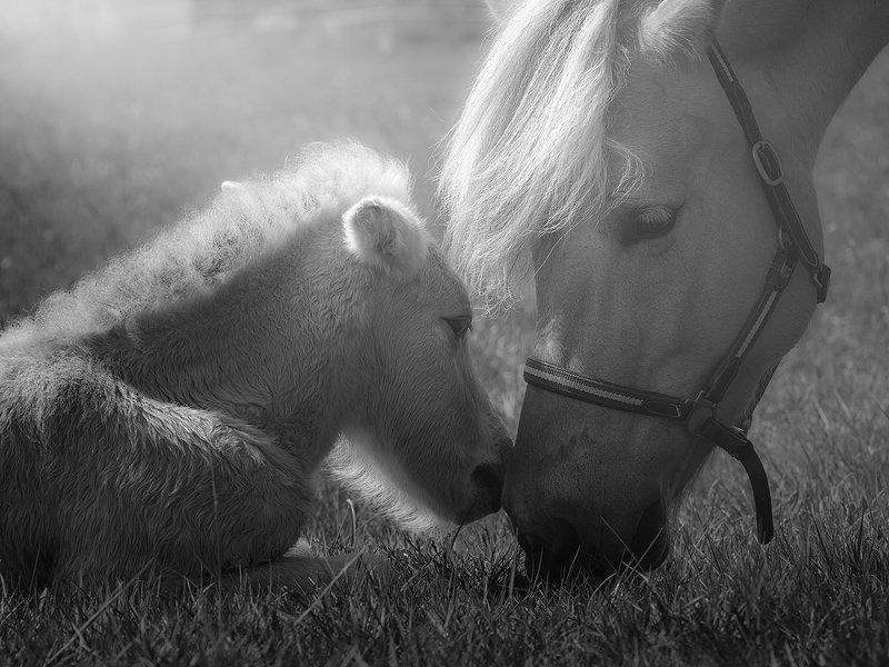 horses,animal,b&w Feelingsphoto preview