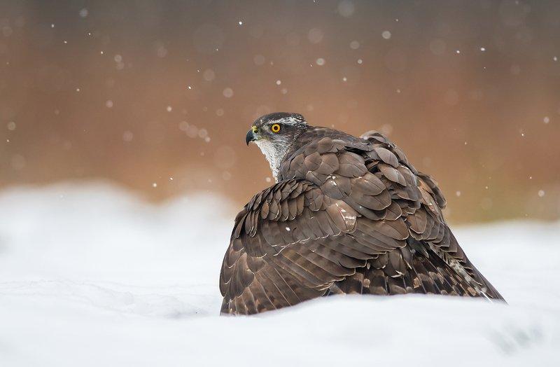birds, bird, animal, animals, wildlife, nature, winter, snow, northern, goshawk, Goshawkphoto preview