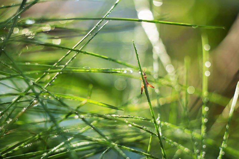 macro bokeh macrophotography helios manual bokehful grasshopper drops sunshine wonderful beautyful ***photo preview