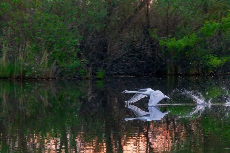 озеро, лебеди, рассвет Навстречу утруphoto preview