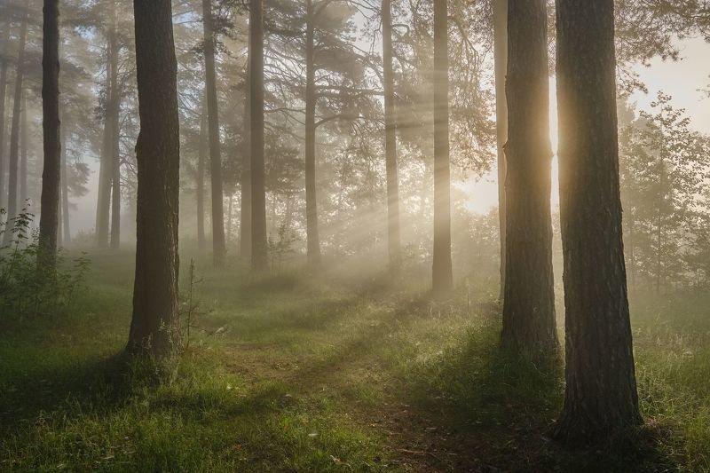 утро, лучи, солнце, лес, деревья, свет Утренние лучи солнца в лесуphoto preview