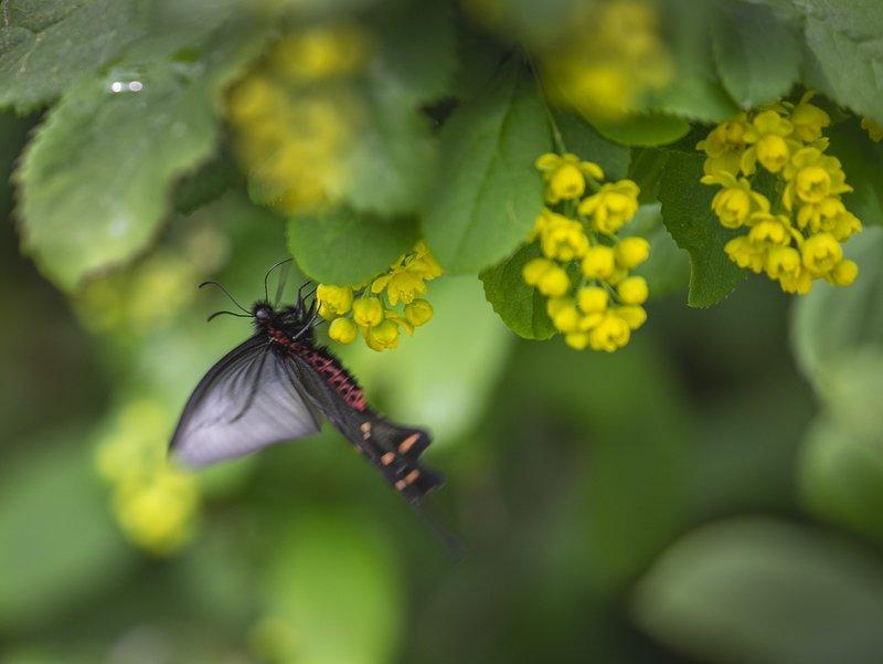 бабочка, парусник, , алциной, atrophaneura, alcinous На барбарисеphoto preview