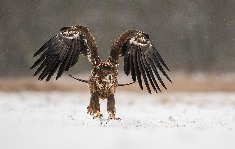 eagle, birds, bird, animals, animal, wildlife, nature, snow, winter, white, tailed, Eaglephoto preview