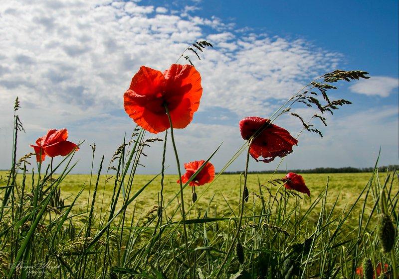 лето, июнь, маки, поле Июнь, разнотравье, макиphoto preview