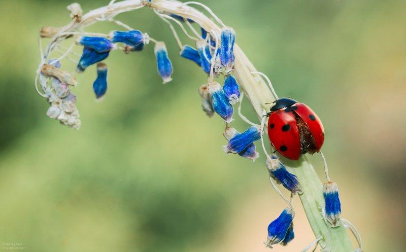 макро, природа, цветы, мускари, насекомые, божья коровка, macro, nature, flowers, muscari, insects, ladybug, ***photo preview