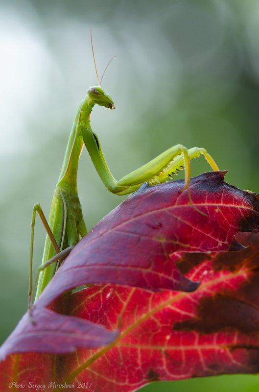 макро, богомол, лето, август, красиво, растение, насекомое, листок, украина Приближение осениphoto preview