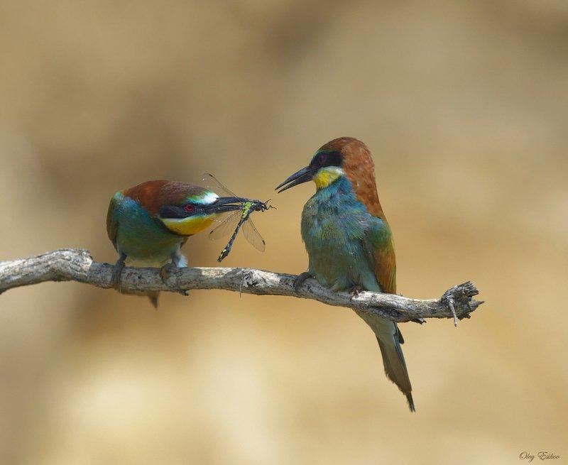 птицы, золотистая щурка Брачные отношенияphoto preview