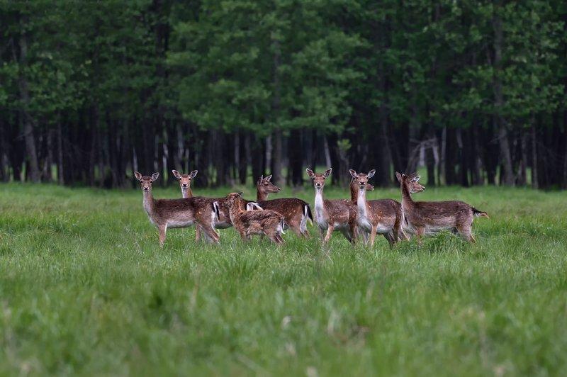 весна,лес,олени ***photo preview