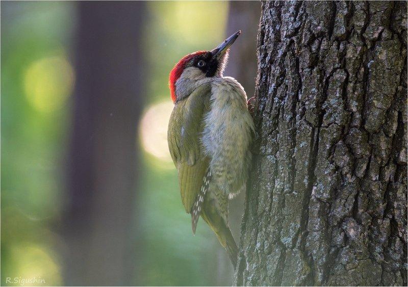 птица зеленый дятел лес весна Санитарка леса)photo preview