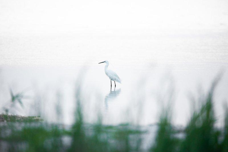 птицы, bird, wildlife, цапля малая Egretta garzettaphoto preview