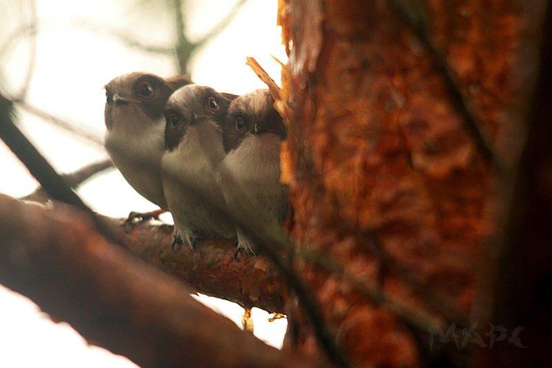 животные птицы птенцы ополовника Ополовнятаphoto preview