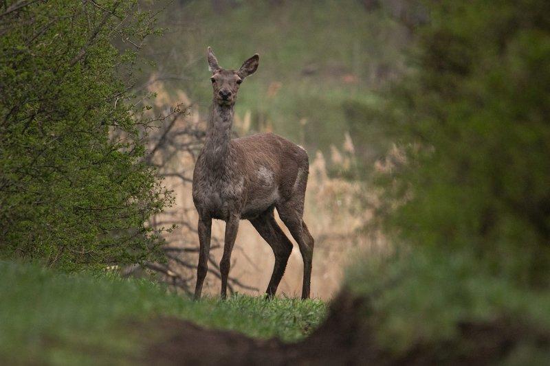 олень, животное, природа В лесном проулкеphoto preview