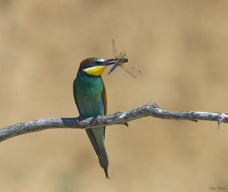 птицы, золотистая щурка Демонстрация добычиphoto preview