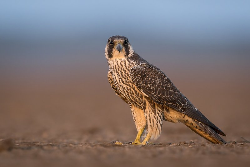 animals,birds,wild,wildlife,nature,falcon,thebest,raptor Falcon in last lightphoto preview