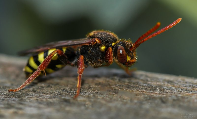 макро, природа, оса, насекомые, macro, nature, wasp, insects, ***photo preview