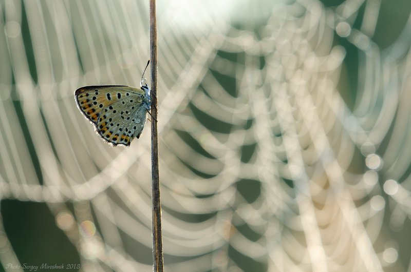 макро, боабочка, лето, красиво, насекомое, утро, паутина, украина Бабочка на фоне паутиныphoto preview