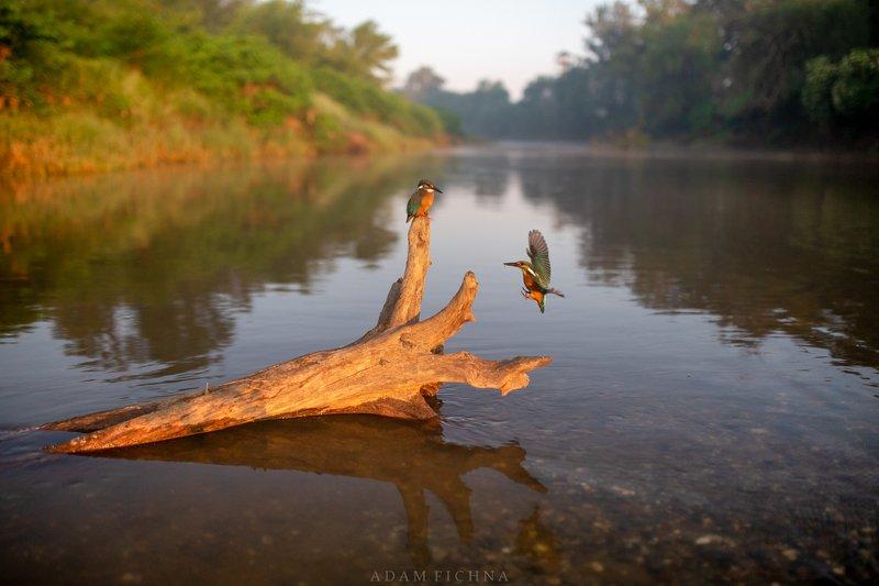 kingfisher, bird, wildlife, river, water, Kingfishersphoto preview