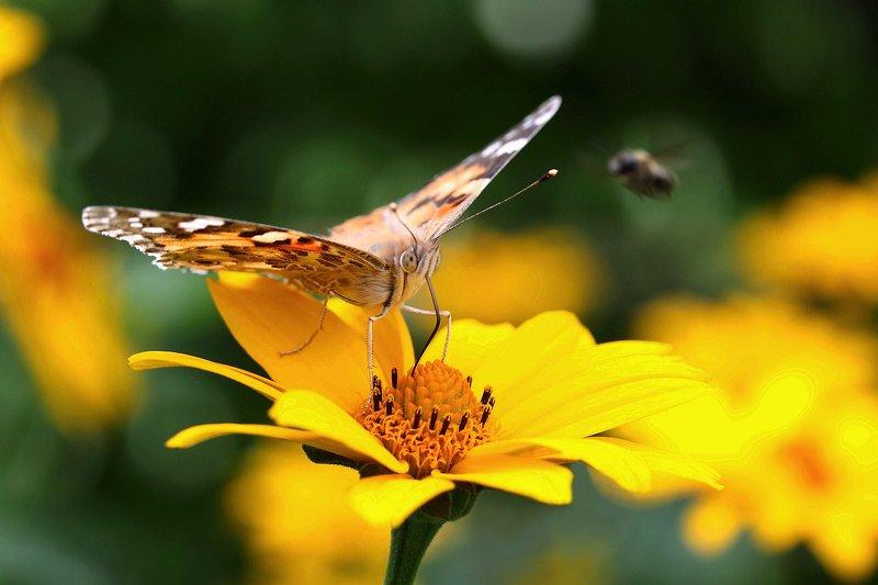Репейница, наблюдающая за полетом пчелыphoto preview