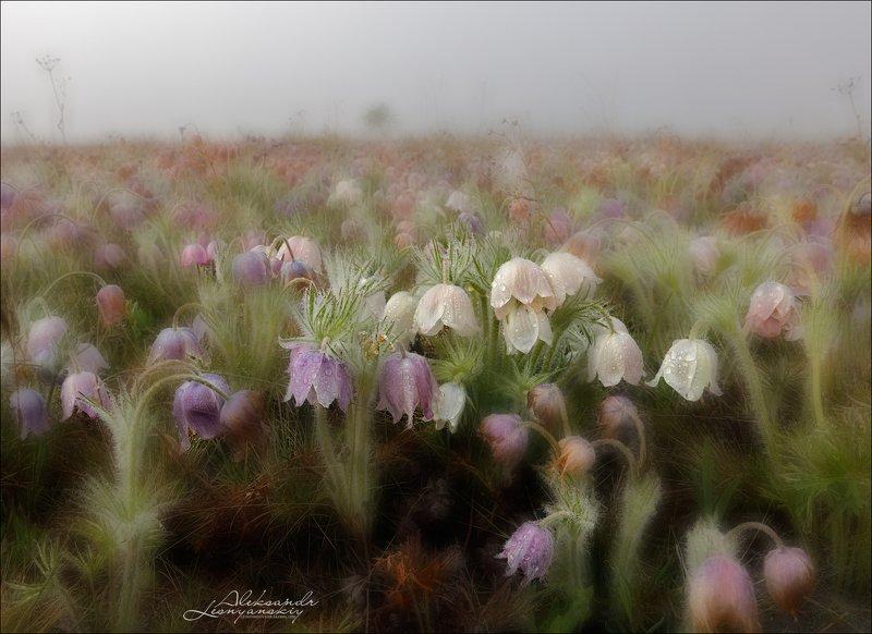 сон-трава Сон-трава в туманеphoto preview