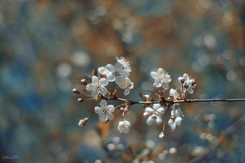 вишня, цветение, весна, май Вишнёвый майphoto preview