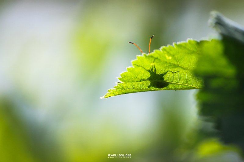 macro, nature, green, funny, close up, photography, photographer, macro world, shadow, hide, good morning Доброе утроphoto preview