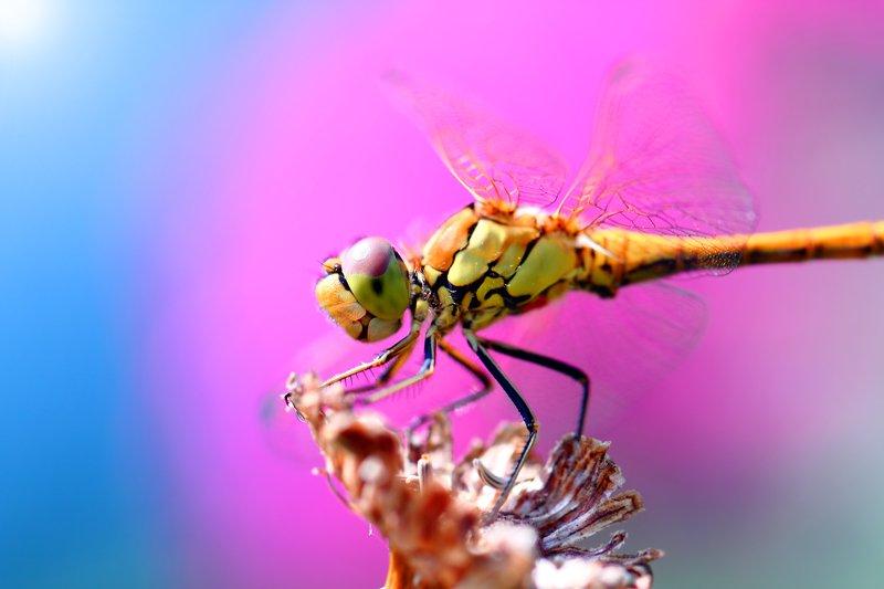 стрекозы, каменушки, букашка, насекомое, насекомые, insects, dragonfly, dragonflies, odonata, arthropoda Фэшн-гламур у девиц поменьше...photo preview