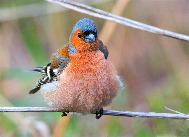 птицы весна щегол зяблик весна Angry Birds (продолжение)photo preview