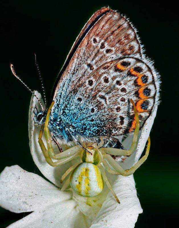 природа, лето, пауки, цветочный паук, мизумена, бабочки, голубянка Эстетphoto preview