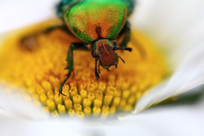 бронзовки, букашка, насекомое, насекомые, жучок, жуки, жучки, bugs, insects, cetoniinae Добро пожаловать в мой скромный бар...photo preview