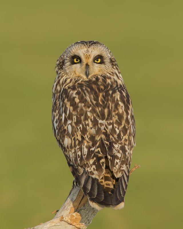 birds,nature,animals,wild,wildlife,naturephotography,birdphotography,owls The Short eared owlphoto preview