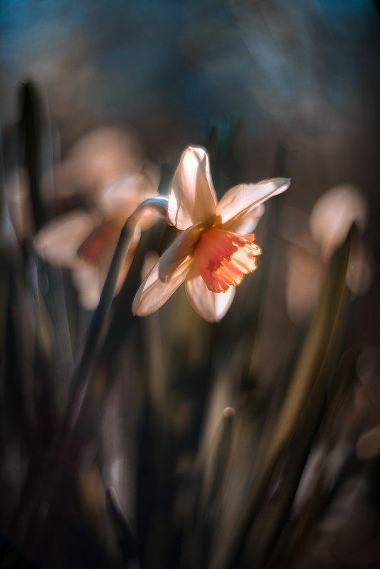 природа, макро, весна, цветы, нарцисс Заря моя вечерняя... фото превью