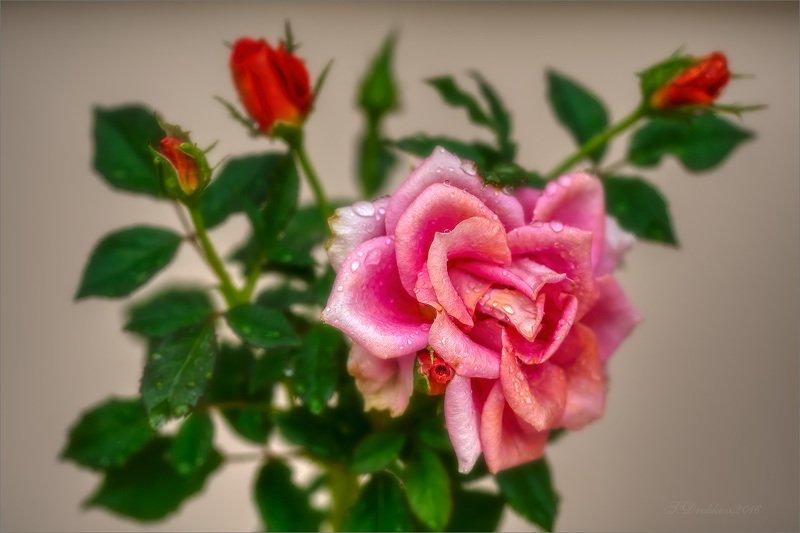 роза, дождь, капли, листья, природа Rainy morningphoto preview