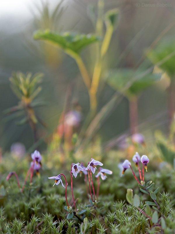 Цветущая клюква фото превью