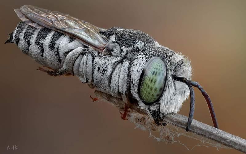 пчелка целиоксис, сoelioxys megachilidae Пчелка целиоксис фото превью