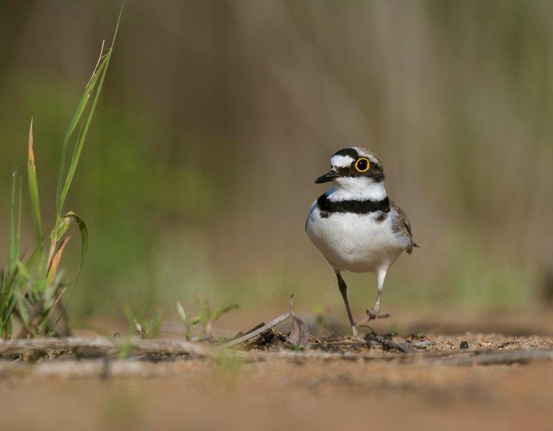птицы,природа,лето На прогулкеphoto preview