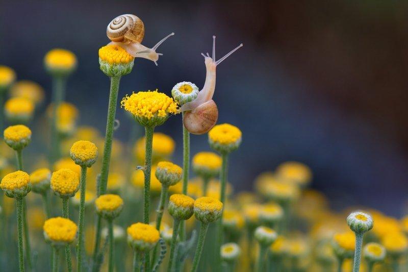 улитки, сантолина, утро Там на склоне горы сантолина цветет...photo preview