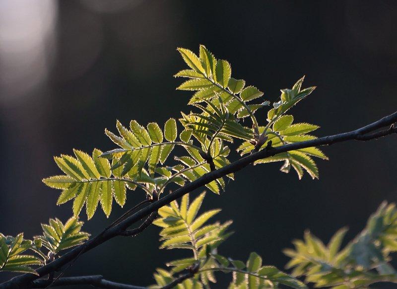весна, молодая листва, зелень, рябина, берёза, мещёра, рязанская область Pro первую зеленьphoto preview