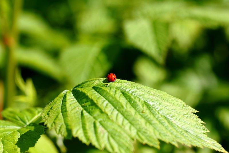 божьи, коровки, букашка, насекомое, насекомые, жучок, жуки, жучки, bugs, insects Прекрасное далёооко, не будь ко мне жестоооко...photo preview