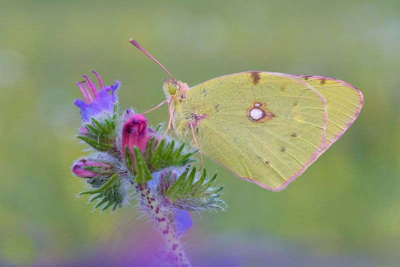 Colias croceaphoto preview